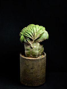 碧瑠璃鸞鳳玉綴化 Astrophytum myriostigma v. nudum f. crist