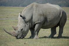 Rhinoceros | White Rhinoceros