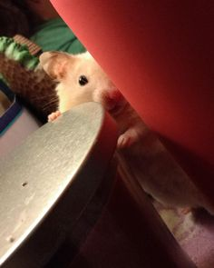 """""""Pssst. Hey kid. Wanna buy some drugs?"""" #aww #Cutehamsters #hamster #hamstersofpinterest #boopthesnoot #cuddle #fluffy #animals #aww #socute #derp #cute #bestfriend #itssofluffy #rodents"""