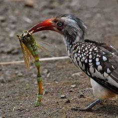 Hồng hoàng mỏ đỏ châu Phi   Red-billed hornbill (Tockus erythrorhynchus)(Bucerotidae) IUCN Red List of Threatened Species 3.1 : Least Concern (LC)   (Loài ít quan tâm)