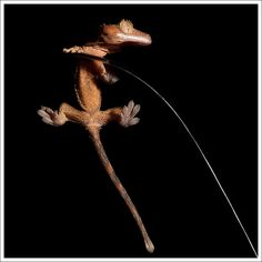 Rhacodactylus ciliatus by Thor Hakonsen, via Flickr