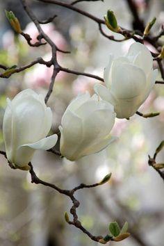 Magnolia for ever <3