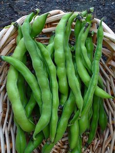 harvesting, shelling, and cooking fava beans