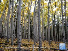 Hiking through towering golden aspens on the Bear Jaw #hiking trail in #Flagstaff, Arizona.