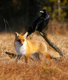 White Wolf : Amazing Pictures Show Raven And Red Fox Interaction