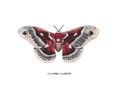 Original watercolor illustration of a female Columbia Silkmoth (Hyalophora columbia), painted at twice its actual size. Butterfly Painting, Butterfly Art, Butterflies, Watercolor Illustration, Graphic Illustration, Colorful Moths, Ma Tattoo, Feather Tattoo Design, Butterfly Species