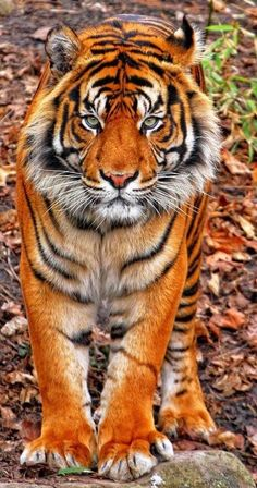 Incredible-looking Tiger ~ wow!