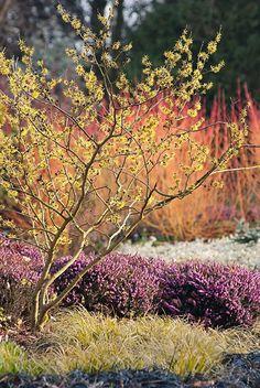 winterflowering garden hazel blossom