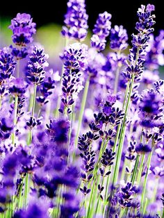 Lavender adds color to a sunny garden or container.