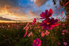 Beautiful colorful print of a field of Cosmos flowers at sunset. A selection of fine art papers and canvas are available. Framed and mounted options too. The perfect print to suit very casual even modern decor schemes. Cosmos Flowers, Wild Flowers, Wildlife Photography, Fine Art Photography, Landscaping Images, Landscape Prints, Landscape Pictures, Photo Canvas, Landscape Photographers