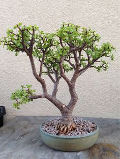 Here's my Elephant's Food (portulacaria afra) bonsai that I've been training for the last 8-9 years. - Imgur