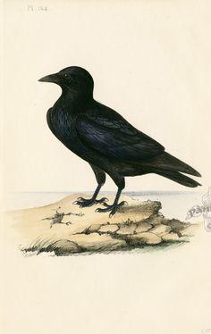 Love crows.  Ravens, too.   Meyer Bird Prints 1857