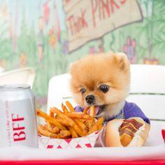 """The Pomeranian, most famous for his role in Katy Perry's """"Dark Horse"""", has made it into Guinness World Records for being the fastest dog on two paws. Cute Baby Dogs, Cute Little Puppies, Cute Dogs And Puppies, Cute Little Animals, Cute Funny Animals, Funny Dogs, Doggies, Jiff Pom, Cavalier King Charles Spaniel"""