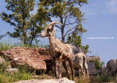 goat bear country wild life south dakota black hills mount rushmore summer travel rv life