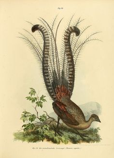 -------------------------------------------------------------------------------- From Picture atlas for Scientific and popular natural history of birds Antique Illustration, Bird Illustration, Charles Darwin, Bird Barn, Barn Owls, Science Illustration, Flora, Australian Animals, Nature Prints