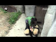 Panda cubs playing with keepers (part 5) - YouTube