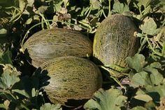 Syngenta presenta en La Mancha su nuevo catálogo de melón #agricultura #agriculture #seeds #melon