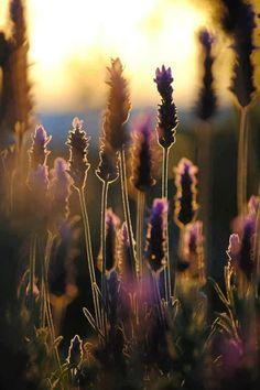 perhaps we'll grow lavendar on La ferme'...