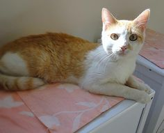 Ringo 36347372 is an adoptable Domestic Short Hair (Orange & White) searching for a forever family near Westampton, NJ. Use Petfinder to find adoptable pets in your area.