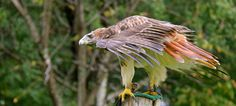 Faucon  ©BrigitteTardif2015