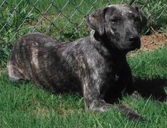 URGENT! Meet 27873180, a Petfinder adoptable Catahoula Leopard Dog Dog | Cedartown, GA | Available for adoption 05/27. Juvenile - 6 months to a year old. She weighs about 45 pounds. She...