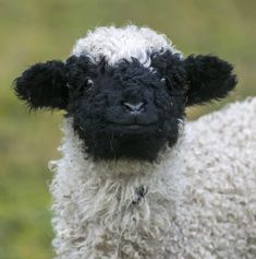 """Zoo Tierpark Berlin on """" No cuteness challenge without - Our Valais Blacknose lamb is throwing in his best smile for round Cute Creatures, Beautiful Creatures, Animals Beautiful, Fluffy Cows, Fluffy Animals, Farm Animals, Animals And Pets, Smiling Animals, Black Animals"""