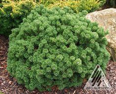 Pinus mugo 'Sherwood Compact' is a neat and tidy dwarf Mugo pine that will never need shearing. Beautiful, dark green needles and pleasing character.