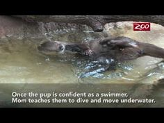 Otter Pups Swim Lesson  I didn't know that otters would need to learn to swim. this is so cute