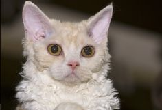 Today, let's learn some things about the laid back #Selkirk_Rex cats! http://www.sweetiekitty.com/cat-breed/selkirk-rex/  #cat #kitty #catlife
