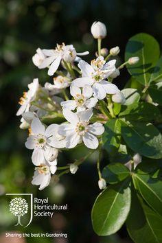 Royal Horticultural Society - RHS - Flower - Choisya ternata [Moonshine] = 'Walcho'