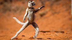 Photographer Alison Buttigieg captured this adorable white sifaka in Madagascar. We can'