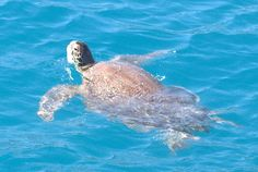 Caretta Turtle spotted in Simena, Turkey