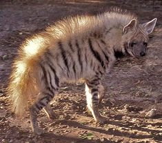 Hyenas - Mammals of Africa and Asia | Animal Pictures and Facts | FactZoo.com