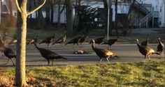 Experts weigh in on a bizarre video of more than a dozen turkeys circling a dead cat.