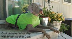 Don't let Fido roast in the heat this summer.  Instead, wet the Soaker Coat and use it as a way to keep him cool.  Great for hot days outside or in the car.   Conveniently works as a super sponge when dry too!  Just put on your wet dog after his swim or bath and watch the water wick away. | www.colossuscanine.com | #Just4Giants #ColossusCanine