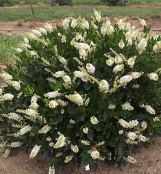 See our large selection of Clethras for your landscape or garden, delivered to your home. Bushes And Shrubs, Flowering Bushes, Low Maintenance Landscaping, Front Yard Landscaping, Moon Garden, Dream Garden, Deer Resistant Garden, Garden Landscape Design, Native Plants