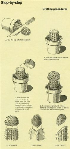 badminton: hauntedwoods:alextyson:The World of Cactus & Succulents (1977) B-D