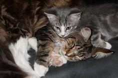 Veja as vantagens e desvantagens de trazer um outro gato para casa e como apresentar os dois felinos para que eles se tornem amigos rapidamente