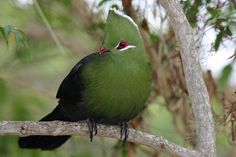 The Knysna turaco (Tauraco corythaix) , or, in South Africa, Knysna lourie, is a large turaco, one of a group of African near-passerine birds. It is a resident breeder in the mature evergreen forests of southern and eastern South Africa, and Swaziland.