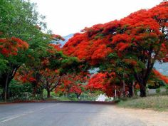 Flora of Zimbabwe: Cultivated species information - individual images: Delonix regia Delonix Regia, Flame Tree, Puerto Rico, Herb Seeds, Bonsai Plants, Colorful Trees, Cool Plants, Flower Seeds, Yellow Flowers