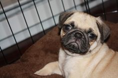 Little pug says: Welcome to my humble abode