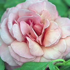 Kiss Me  Grow this one for its incredible fragrance! 'Kiss Me' not only smells sweet, but it looks great, too, with its 4-inch pink flowers. This easy-to-grow rose keeps blooming all summer.  Size: To 3 feet tall  Zones: 5-9