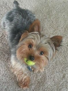 Yorkies, Yorkie Dogs, Pet Dogs, Animals And Pets, Baby Animals, Cute Animals, Cute Dog Pictures, Dog Photos, Cute Puppies