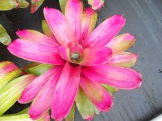 pink sea  | Order neo bromeliads online, best price on neoregelia, mailorder neo's