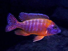 "Aulonocara sp. ""Rubescens"". Gorgeous cichlid!!!"