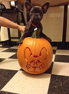 French bulldog pumpkin carving for Halloween!