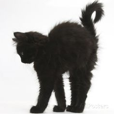 Fluffy Black Kitten, 9 Weeks Old, Stretching with Arched Back Photographic Print