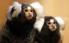 Marmoset monkey - owned one when we lived in South Africa. They look cute....but......man do those teeth hurt!