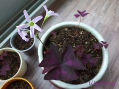 베란다정원 / 보라사랑초 (자주잎 옥살리스, Oxalis triangulris)