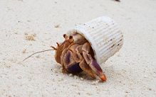 Reddit user HSmidt has posted this picture of a hermit crab in Cuba using a toothpaste cap as a shell
